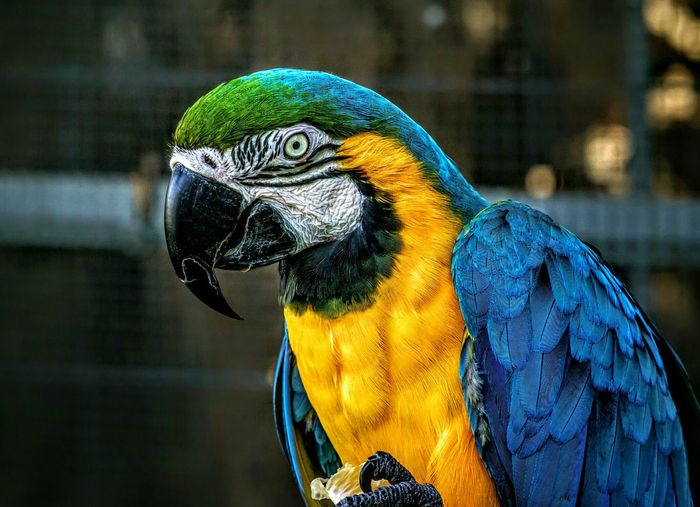 Close-up of gold and blue macaw against cage at zoo