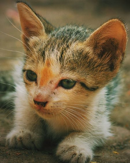 Yesterday is History, Tomorrow is Mystery, Today is a Gift, That's why they call it 'The Present' Each day provides it's own gifts. Met this cutie on yesterday's photowalk. Animal Themes Looking At Camera Portrait Close-up Young Animal Nature Domestic Animals Pets Kitten Addorable Kittenoftheday Photographyworldwide Travel Destinations Creative Photography Travel Photography Bokeh Photography DSLR Photography Traveldiaries Canon_official Canon600D India_clicks Outdoors Netgeotravel Cat Lovers Catlover