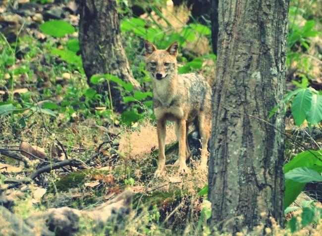 Animals In The Wild Animal Wildlife One Animal Mammal India Fox Indian Bandhavgarh National Park Bandhavgarh Outdoors