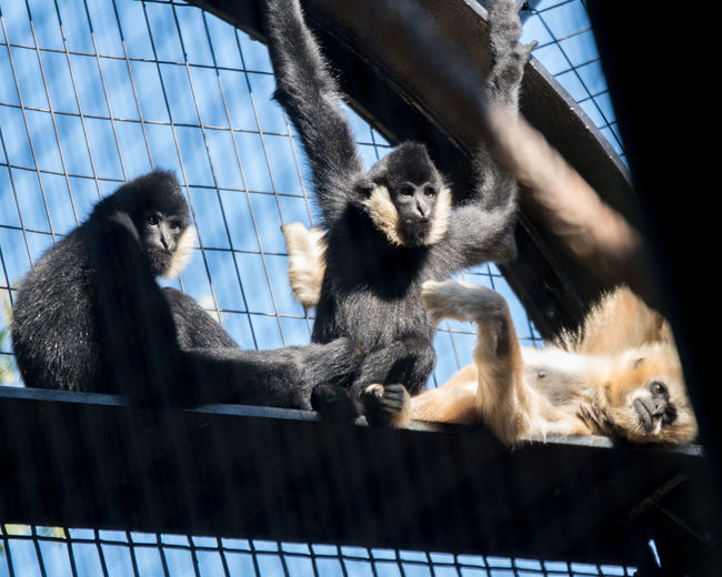 ©Amy Boyle Photography Hanging Hanging Out Humor Nature Zoo Animal Themes Animal Wildlife Day Gibbon Gibbons Outdoors Zoo Animals  Zoology