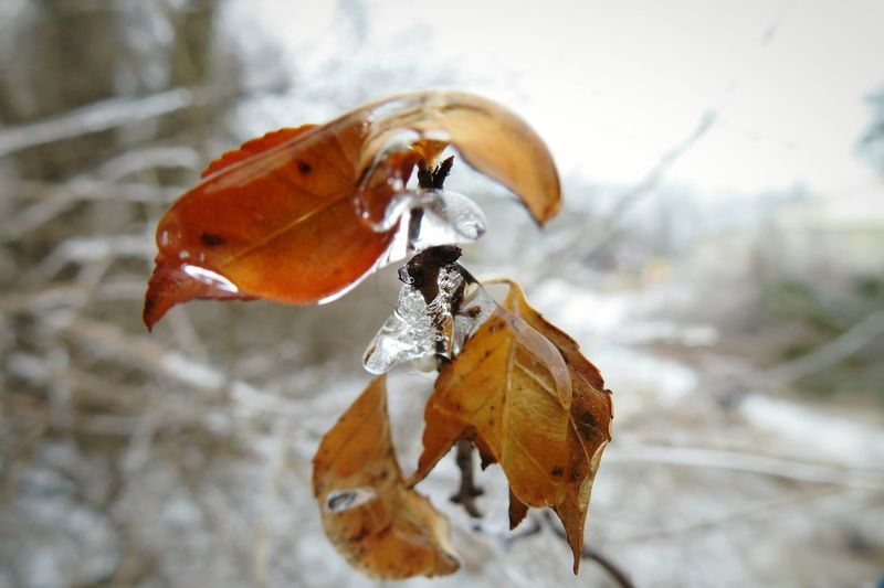 Still some ice hanging around today. The Premium Collection The EyeEm Collection Focus On Foreground Ice Frozen Ice Covered  EyeEm Selects Nature Leaf No People Outdoors Day Close-up Winter Cold Temperature Fragility Beauty In Nature Orange Color Freshness Change Cold Weather Condition