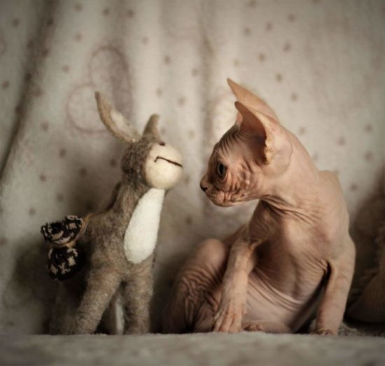 Close-Up Of Sphynx Hairless Cat With Toy Sitting On Bed At Home