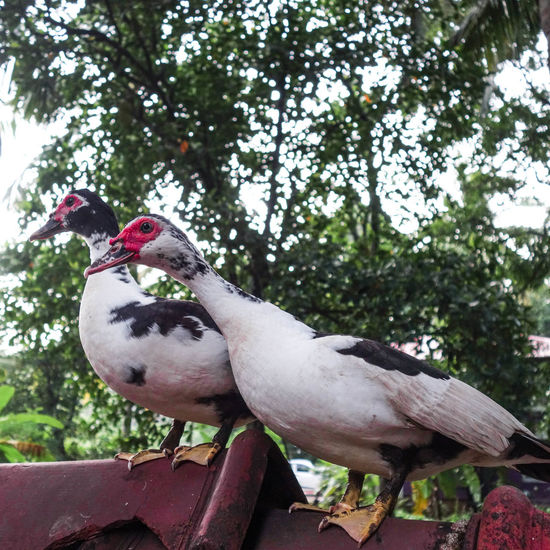 A Couple ❤️🐤 Ducks Couple Pair Livestock Domestic Animals Bird Indegenous Farm Animals Bird Photography Farm Life Rural Things I LikeVillage Kerala India Palakkad Incredible India Travel Green
