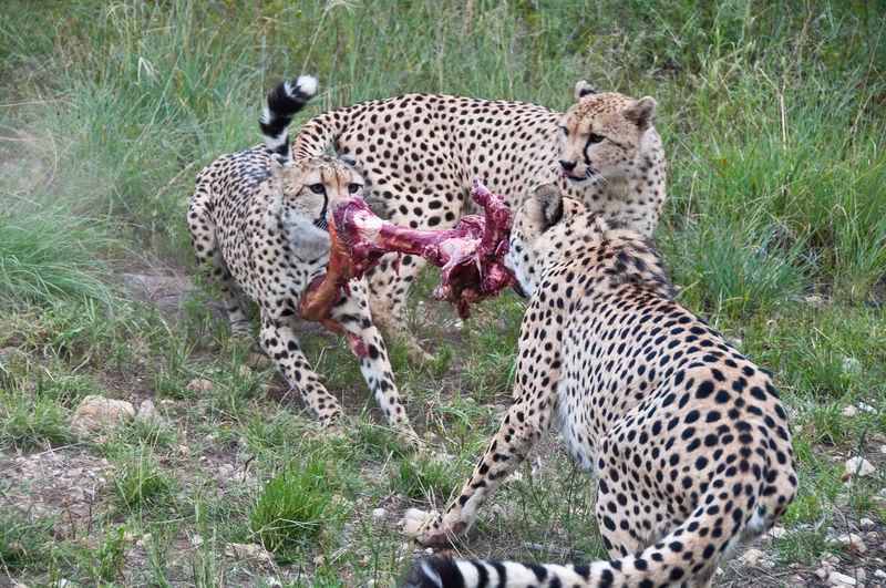 40% of Africa's cheetahs reside in Namibia Amani Lodge Animal Wildlife Animals Hunting Cheetah Feline Namibia Nature Outdoors Safari Animals Windhoek Namibia