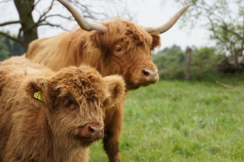 Cow Grass Animal Wildlife Outdoors Day Highland Cattle Calf No People
