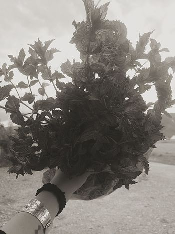 Букет свежести Real People Human Body Part Human Hand One Person Growth Flower Nature Day Plant Tree Close-up Beauty In Nature Outdoors Sky Flower Head People Mint Fresh Mint Sweet Mint