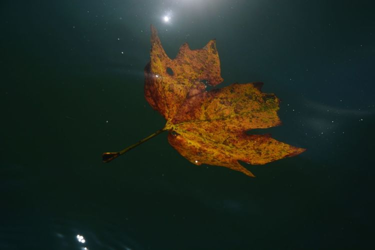 Close-up of autumn leaf floating on water