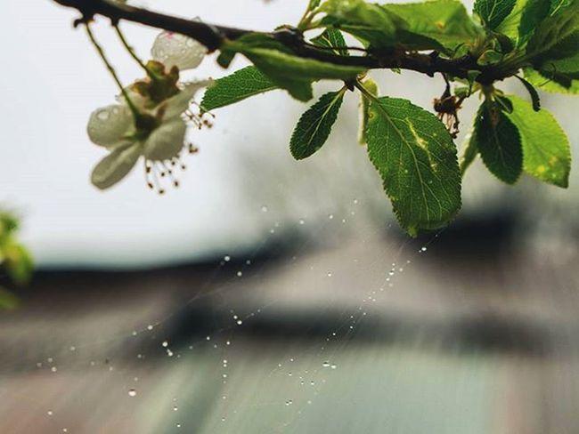 Blossoms  Green Gilan Rasht Cobweb Traveling Travelingram Travel Nature Spring 95 نوروز95
