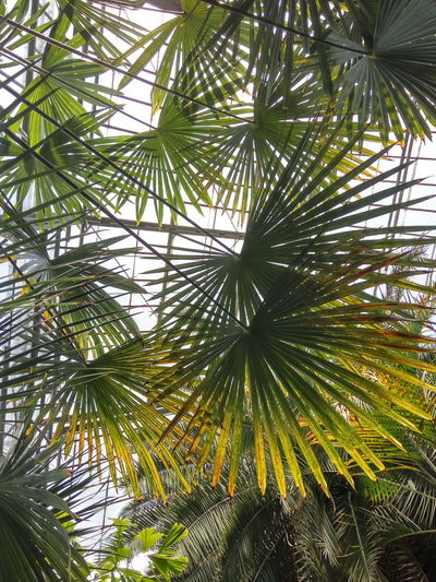 Tree Nature Low Angle View Green Color Palm Tree Growth PhonePhotography Phone Light And Shadow Sunny Botanical Garden Cluj Cluj-Napoca Tropical Exotic Green Green Color Leaves Palm