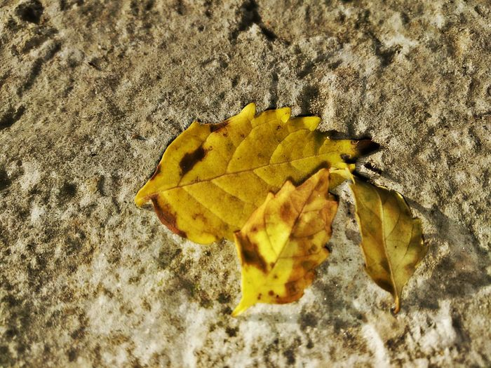 Yellow High Angle View Close-up No People Autumn Textured  Outdoors Nature Leaf Mobilephotography 🇮🇳 India OpenEdit Background Change Environment Togetherness Autum Leaves.<3