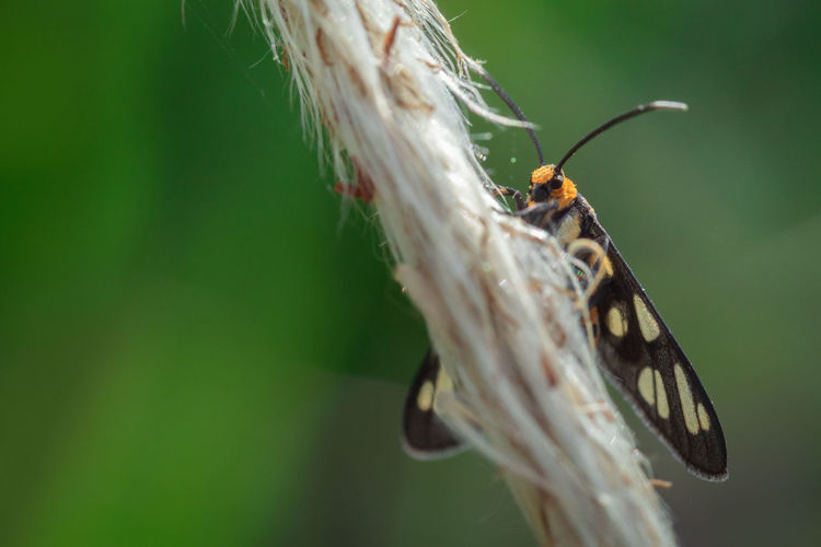 Beauty image of wasp moth hanging on a flower grass