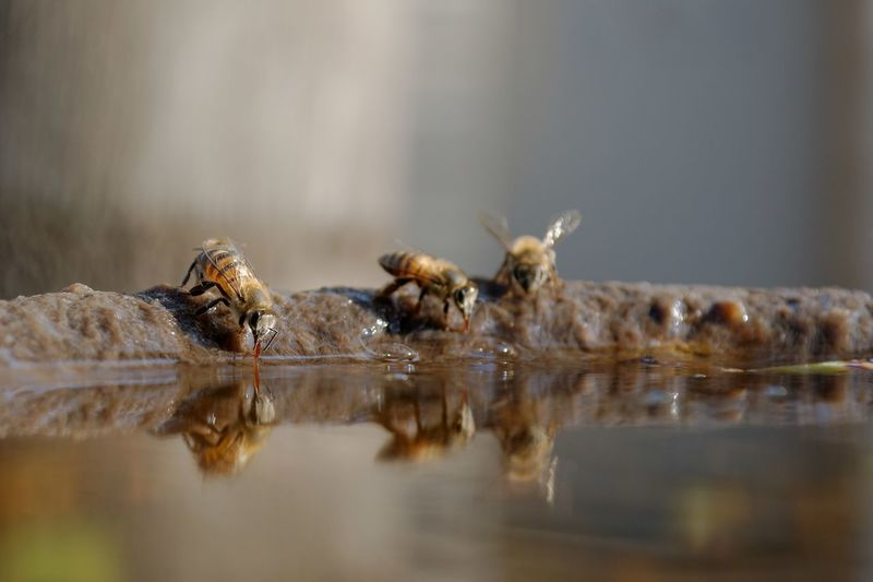 African Bees At Waterhole.. Bees Bees Drinking Water Close-up Day Nature No People Outdoors Waterfront