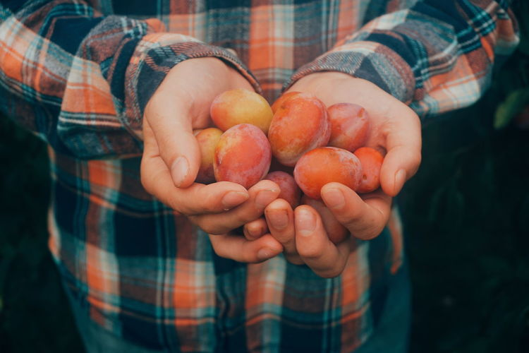 a handful of plums Plum Plums Harvest Harvesting Organic Healthy Eating Human Body Part Human Hand Human Hand Healthy Lifestyle Fruit Women Agriculture Holding Rural Scene Close-up Harvesting Farm Worker Farmland Farmer Farm Picking
