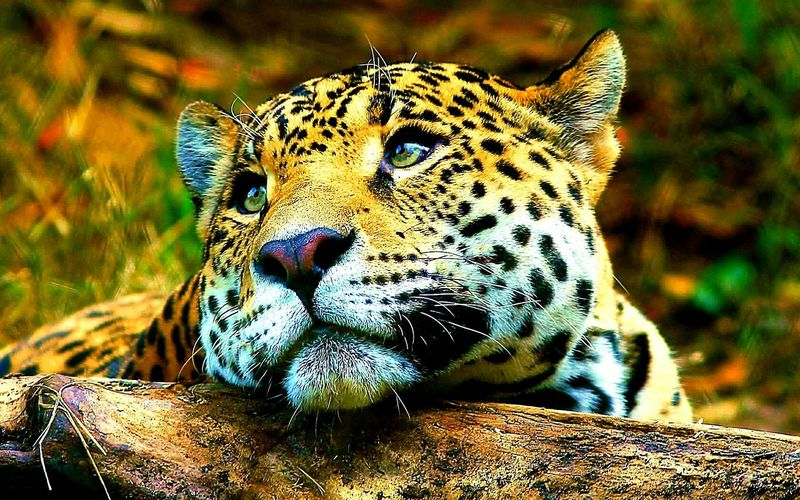 Leopard Animal Animal Wildlife Mammal Eye Spotted Feline Animals In The Wild One Animal Nature Close-up Portrait Outdoors Water No People Day Animal Themes