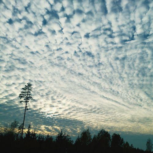 real skies Tree