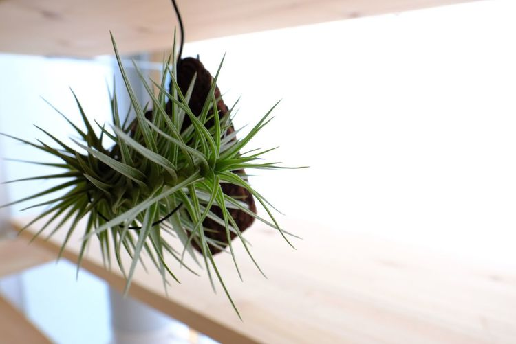 Airplants Tillandsia