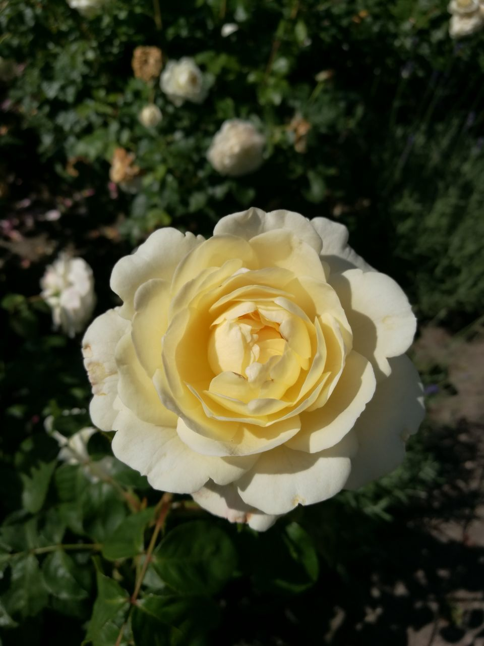 flower, petal, rose - flower, fragility, nature, flower head, beauty in nature, freshness, white color, no people, plant, growth, close-up, blooming, outdoors, day, yellow