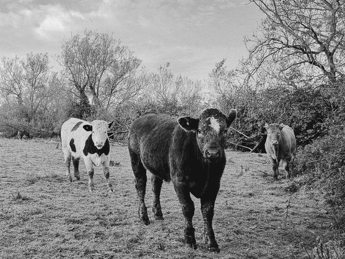 Animals EyEmNewHere Followme Photography Animals In The Wild Cows Theyre Coming Blackandwhite Men Working Animal Domestic Cattle Herbivorous Cattle Farm Animal