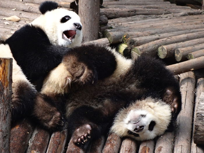 Pandas on logs in forest
