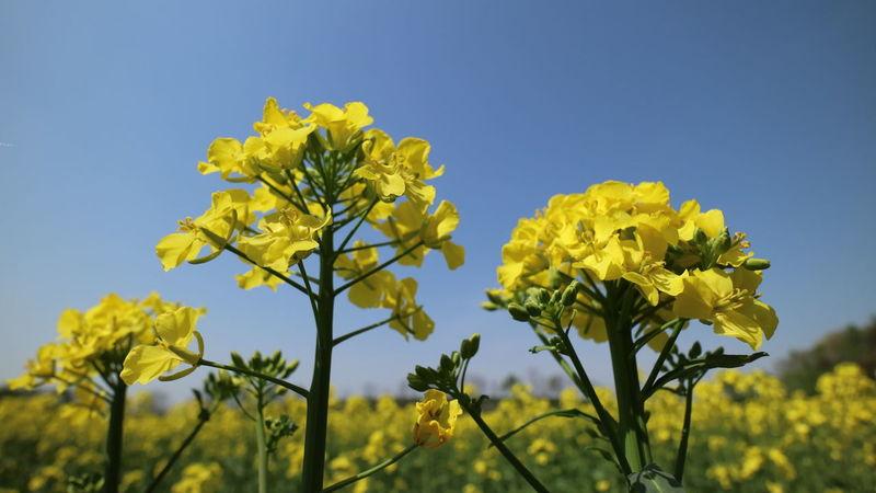 菜の花 菜の花畑 Yellow Flower Nature Sky