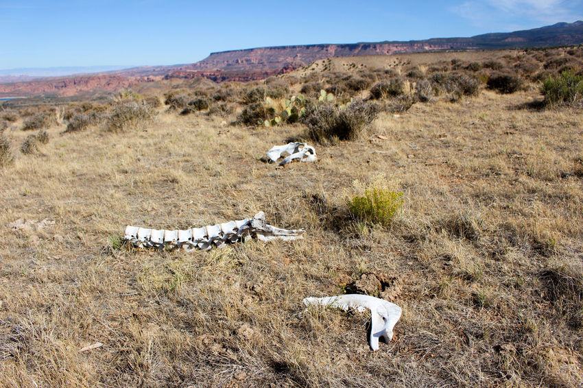 Cattle bones lying on a desert mesa near Moab, Utah Bones Desert Moab, Utah Skeletal Remains Utah Animal Themes Arid Climate Beauty In Nature Cattle Cow Day Desert Landscape Desert View Field Grass Landscape Mammal Mountain Nature No People Outdoors Scenics Sky