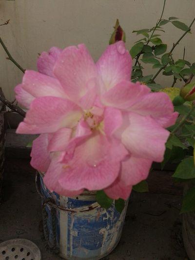 Natural Beauty! Flower pink rose First Eyeem Photo