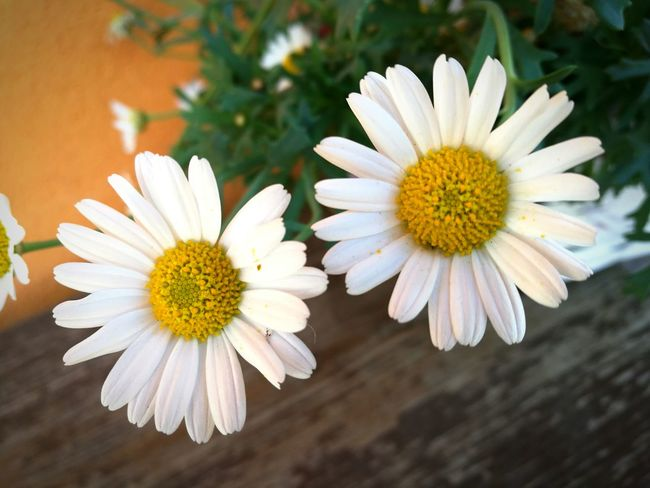 Daisies flowers Relaxing wild