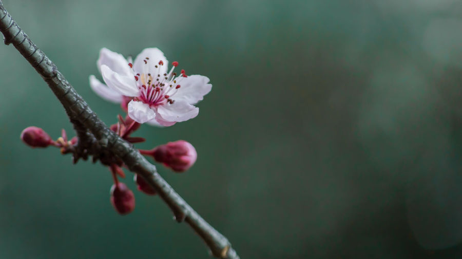 Beauty In Nature Blooming Blossom Botany Branch Close-up Day Flower Flower Head Fragility Freshness Growth Nature No People Outdoors Petal Plant Plum Blossom Selective Focus Springtime Tree Twig