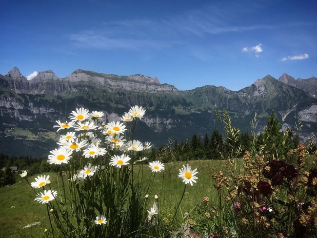 Flower Mountain Nature Growth Beauty In Nature Plant Mountain Range Tranquility Sky No People Day Outdoors Uncultivated Vegetation Scenics Freshness Fragility Blooming Landscape Flumserberg Travel Your Ticket To Europe Lost In The Landscape