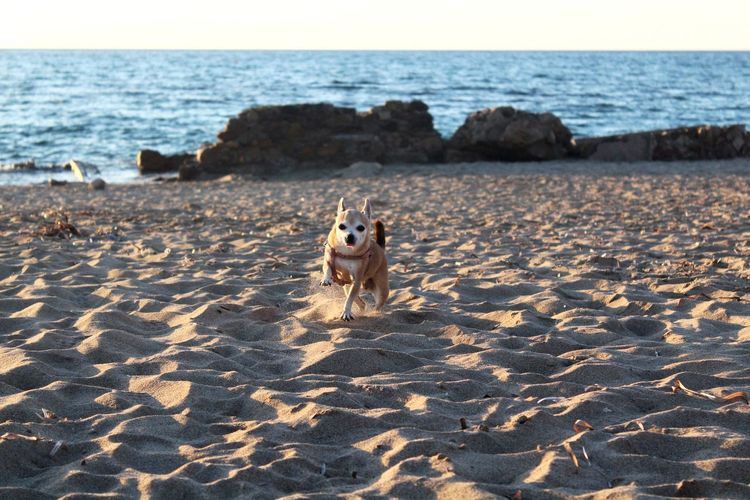 EyeEm Selects Dog Pets Beach Animal Horizon Over Water Sea Domestic Animals Water Running Sand Sunset Animal Themes Summer Happiness No People Playing Sky Nature Outdoors Wave Pets And Animals Dog Days Dogslife Pets Of Eyeem
