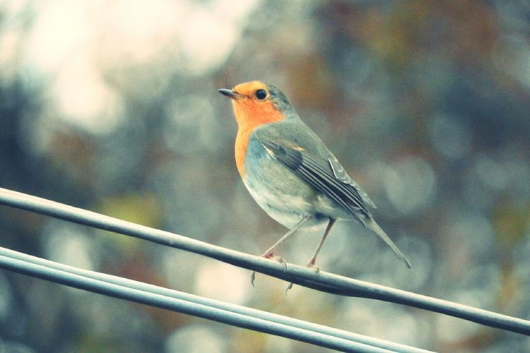 Pettirosso Bird