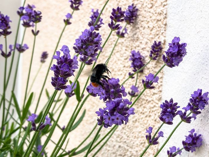 Bumblebee and Lavender on the balcony Bumblebee On Flower Bumble Bee Bumblebee Flowering Plant Flower Purple Plant Fragility Vulnerability  Beauty In Nature Freshness Growth Nature Lavender Flower Head Close-up Petal Inflorescence Animal Themes One Animal Animal Wildlife Insect Focus On Foreground