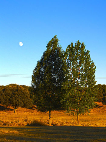 Moon on the trees - Populus nigra Beauty In Nature Blue Clear Sky Countryside Field Green Color Landscape Moon Nature No People Non-urban Scene Outdoors Scenics Solitude Tranquil Scene Tranquility Tree Trees Trees And Sky Populus