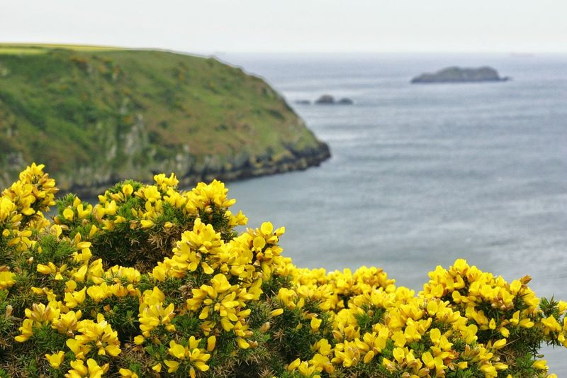 Landscape Yellow Flower Cliff Sea Nature Tranquil Scene Tranquility Idyllic Beauty In Nature No People Wales Coastline Pembrokeshire Coast Pembrokeshire Coast Gorse Yellow Gorse Common Gorse The Great Outdoors - 2017 EyeEm Awards
