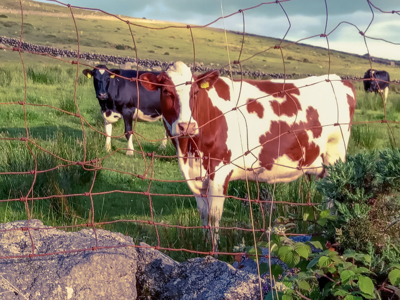 domestic animals, mammal, pets, domestic, animal themes, livestock, animal, cattle, cow, grass, vertebrate, plant, field, land, group of animals, standing, nature, day, no people, domestic cattle, outdoors, herbivorous