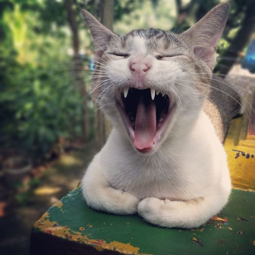 Yawning One Animal Domestic Cat Mouth Open Mammal Pets Front View Feline Animal Themes No People Outdoors Domestic Animals Day Nature Close-up