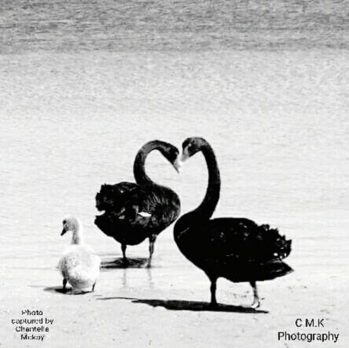 Signet Swan Lovephotography  Love It Love❤ Love Hearts Lovelovelove Loveheart Natural Beauty Natural Natural Pattern Natural Ocurring Shape Swanfamily Blackandwhite Blackandwhite Photography Mobilephonephotography Getting Creative EyeEm The Best Shots EyeEm Gallery EyeEm Selects Eye4photography  EyeEm Best Shots EyeEm Nature Lover EyeEm EyeEmBestPics Eyeem Market Eyeemmobilephotography Bird Animals In The Wild Animal Wildlife Water Animal Themes No People Lake Outdoors Swan Nature Day