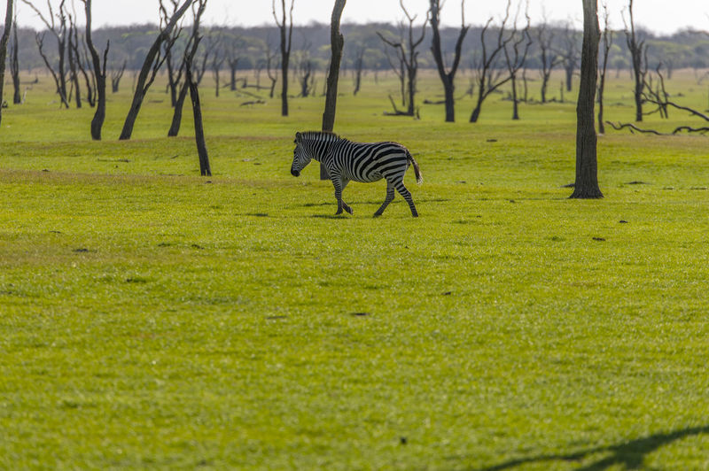 View of a zebra on field