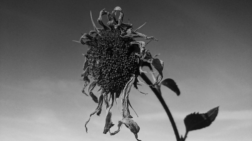 My passion will kill me Nature Sunflower Black & White Sun Goes Down Beauty Of Decay Beauty In Nature