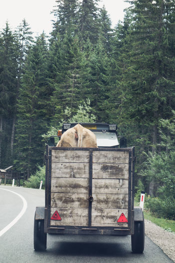 Driving Moments ON HER WAY TO SURGERY Transportation Animal Themes Captivity Capture Cow Day Domestic Animals Film Look Mammal Mountain Nature On The Road One Animal Outdoors Road Trip Scenery Streetphotography Tree Vehicle