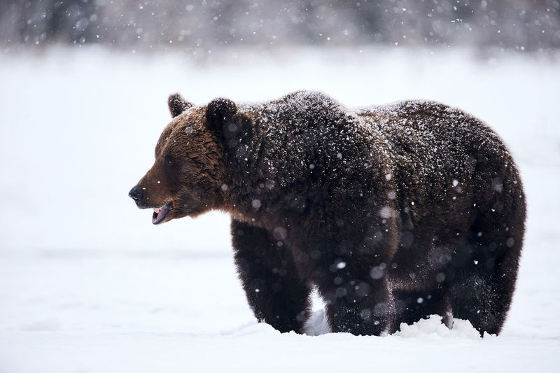 Bear standing on field during snowfall