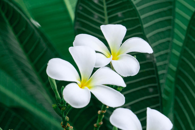 Close-up of white frangipani on plant
