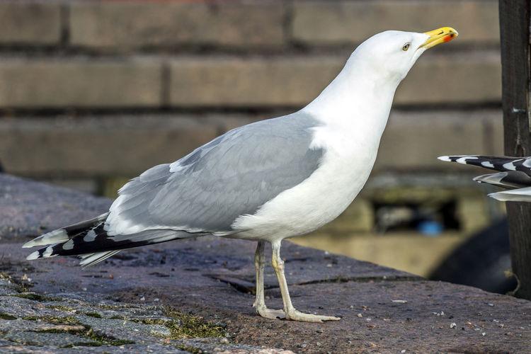 Seagull On Pavement