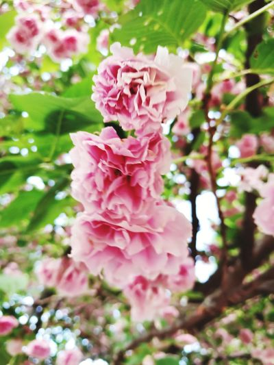 Flower Head Flower Tree Springtime Pink Color Branch Petal Blossom Close-up Plant Pale Pink Plant Life Peony  Botany Focus Cherry Blossom Cherry Tree Wild Rose Pistil