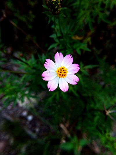🌸 Crafted Beauty Day Blooming Outdoors Close-up No People Freshness Plant Flower Head Growth Fragility Beauty In Nature Petal Nature Flower Pink Color Pink Flower Green EyeEmNewHere