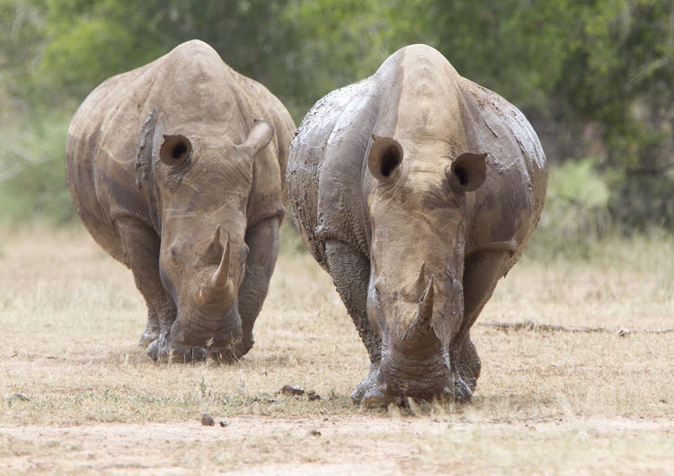 Animal Family Animal Themes Animal Wildlife Animals In The Wild Day Field Mammal Nature No People Outdoors Safari Animals Togetherness Two Animals White Rhino