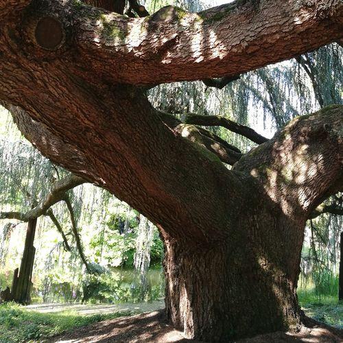 Arboretum Cèdre Du Liban Arboretum Vallée Aux Loups Tree Branch Tree Trunk