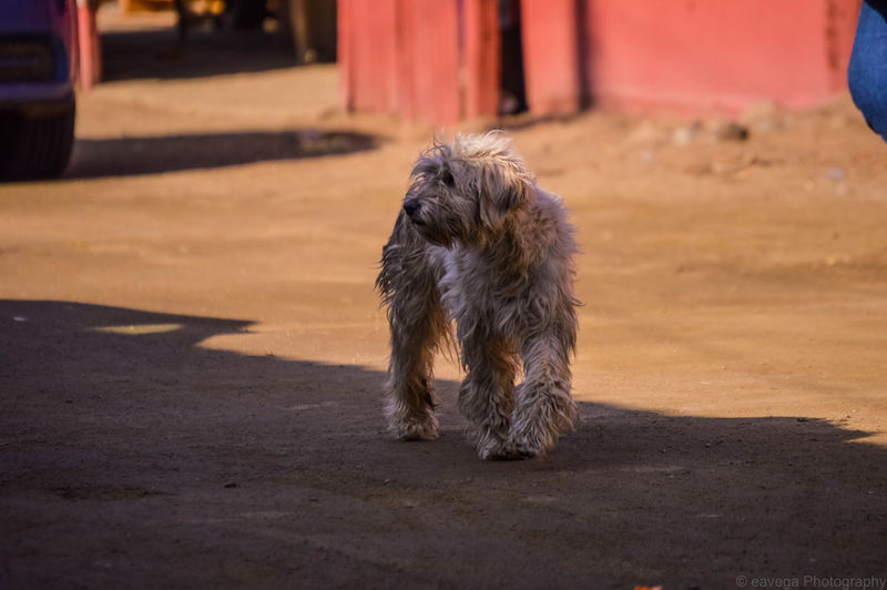 Animal Animal Hair Animal Themes Canine Day Dog Domestic Domestic Animals Focus On Foreground Full Length Mammal Nature No People One Animal Outdoors Pets Shadow Small Sunlight Vertebrate
