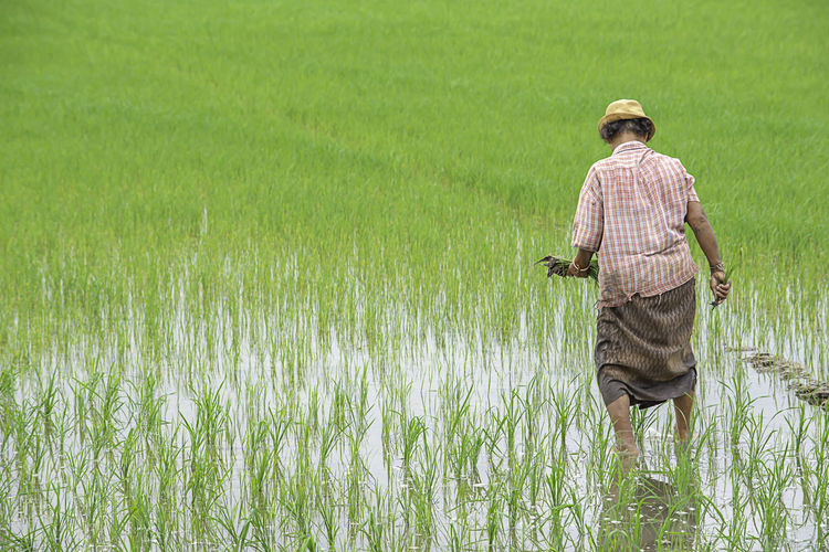 The farmer is a woman Wear a hat holding rice planted in paddy field with The wetlands at BangYai Park , Nonthaburi in Thailand. June 30, 2019 Agricultural Agriculture Animal ASIA Asian  Background Beautiful Brown Cereal Country Countryside Crop  Farm Farmer Farming Farmland Female Field Food Grain Green Grow Hand Handful Harvest Harvesting Holding Horizontal Landscape Light Meadow Natural Nature Organic Outdoor Paddy People person Plant Rice Rice Grain Ripe Rural Season  Seed Thai Thailand Wildlife Woman Yellow