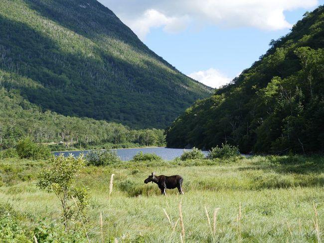 Done That. Moose New Hampshire White Mountains Nature Mountain Outdoors Wild Animal Moose near Profile Lake New Hampshire